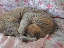 Pedigree cat blissful sleep. Photo of a pedigree british shorthair cat enjoying a blissful sleep on her favourite bed during winter season photo taken jan 17th Stock Image