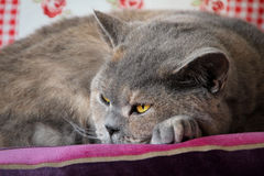 Pedigree cat daydreaming Royalty Free Stock Photo