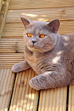Pedigree cat on decking Stock Photos