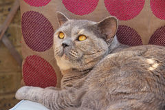 Pedigree cat eyeing up bird Royalty Free Stock Images