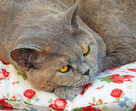 Pedigree cat resting Royalty Free Stock Image