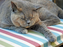 Pedigree cat resting Stock Images