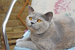 Pedigree cat on seat Royalty Free Stock Image