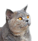 Pedigree cat side profile Royalty Free Stock Photos