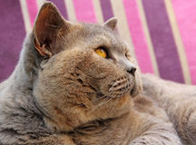 Pedigree cat side profile Stock Photo