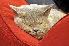 Pedigree cat sleeping. Photo of beautiful pedigree cat snoozing on her favourite sofa Royalty Free Stock Images