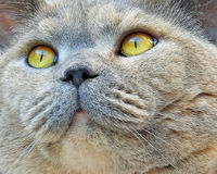 Pedigree cat wonder face Stock Images