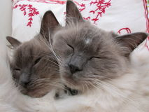 Pedigree Cats. Rag doll American Pedigree cats Stock Images