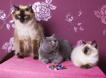 Pedigree cats. Two ragdolls and a british shorthair on a pink background Royalty Free Stock Photos