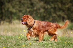 Pedigree Cavalier King Charles Spaniel Dog Stock Image