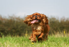 Pedigree Cavalier King Charles Spaniel Dog Stock Photography