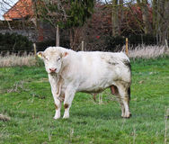 Pedigree Charolais Bull in a field Royalty Free Stock Image