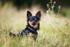 Pedigree chihuahua dog Stock Image