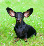 Pedigree dachshund. On the green grass Royalty Free Stock Images