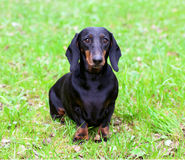 Pedigree dachshund Stock Images