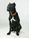 Pedigree dog. A black large pedigree dog Stock Image