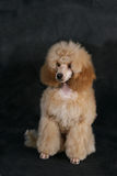 A pedigree dog. A poodle sitting agains black background Royalty Free Stock Images