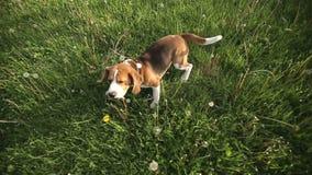 Pedigree dog Beagle playing with videograph camera. Dog runs at the camera.  stock footage
