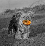 Pedigree dog fetching bitcoin cryptocurrency. Photo concept of a pedigree yorkshire terrier dog fetching cryptocurrency bitcoin in mouth royalty free stock photos