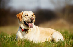 Pedigree dog on grass Royalty Free Stock Photography