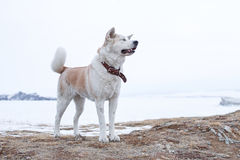 Pedigree dog Japanese Akita Inu stands on a mountain in the middle of Lake Baikal in the winter. Stock Photography