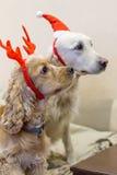 Pedigree dogs dressed beautifully Royalty Free Stock Image