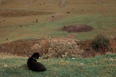 Pedigree dogs Shepherd lying on the grass guarding the cows. Royalty Free Stock Photo