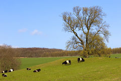 Pedigree dutch belted cattle Royalty Free Stock Photos
