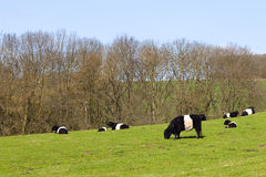 Pedigree dutch belted cattle in a green pasture Stock Photos