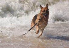 Pedigree German Shepherd Dog Ocean Waves. Purebred female young german shepherd dog running and playing in the waves of the Atlantic Ocean in North Carolina's Stock Photos