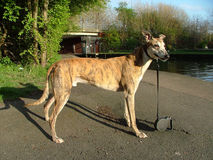 A pedigree greyhound. A pedigree sable greyhound Stock Photography