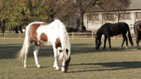 Horses On Pasture Funny. Pedigree horses black grey white brown color and spotted horse on pasture eating grass in slow motion stock footage