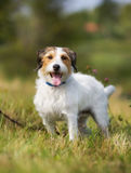 Pedigree Jack Russell Terrier dog Stock Photos
