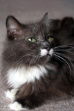 Pedigree Maine Coon Stock Photo