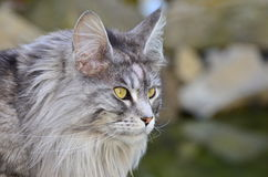Pedigree Maine Coon cat hunting Royalty Free Stock Image
