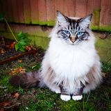 Pedigree Maine coon cat portrait. Maine coon tabby lynx cat sitting on grass looking forward to the camera Royalty Free Stock Photography