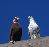 pedigree pigeon20 Arkivfoto