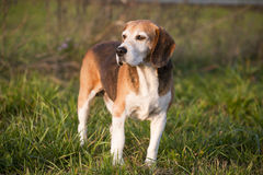 Pedigree proficient foxhound beagle on meadow Stock Image