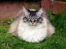 PEDIGREE RAG DOLL CAT GARDEN PORTRAIT. Fluffy longhaired cat enjoying the outdoors Stock Photos