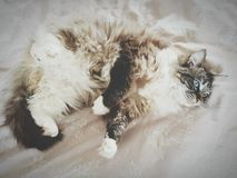 PEDIGREE RAG DOLL CAT LAYING ON THEIR BACK. Royalty Free Stock Image