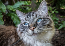 Pedigree Ragdoll cat outdoor portrait Royalty Free Stock Images
