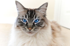 PEDIGREE RAGDOLL CAT PORTRAIT. Pedigree Ragdoll & x28;Seal Lynx Tabby& x29; Cat Looking At CAMERA Portrait royalty free stock photos