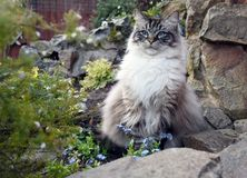 PEDIGREE RAGDOLL CAT. RAGDOLL CAT SITTING OUTDOORS IN A ROCKERY Stock Photography