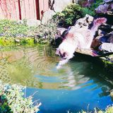 Pedigree Ragdoll fishing. Ragdoll cat dipping his toes paws into garden pond fishing, creating beautiful circular ripples in the water, On a sunny day Stock Images