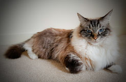 Pedigree Ragdoll lynx tabby seal mitted Stock Photo