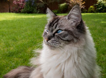 Pedigree Ragdoll. Outdoors portrait of a Ragdoll cat sitting outdoors on a grass lawn looking to the left stock photography