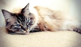 PEDIGREE RAGDOLL Royalty Free Stock Photo