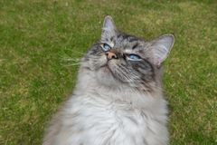 Funny Ragdoll Cat Looking At The Camera. Stock Photo