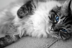 PEDIGREE RAGDOLL SEAL MITTED LYNX. RAGDOLL laying on his side while looking at camera. Black & white filter with blue eyes Stock Image