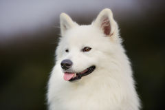 Pedigree samoyed dog Stock Image